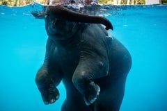 En mahout som rider simningen, behandla som ett barn elefanten arkivbild