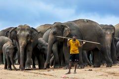 En mahout står med en flock av elefanter på det Pinnewala elefantbarnhemmet (Pinnawela) i centrala Sri Lanka royaltyfri bild