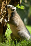 En maki av Madagascar Arkivbild