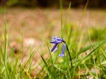 En makro av en blåklocka på gräset Fotografering för Bildbyråer