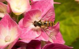 En makro av en Hoverfly på en rosa blomma Royaltyfri Fotografi
