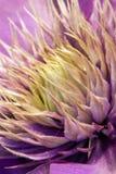 Purpurfärgad Clematis Royaltyfria Foton