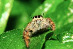 En makrobild av att hoppa spindeln Salticidae, den Hyllus diardien som är kvinnlig med goda, vässar och specificerat, hår, öga oc arkivfoton