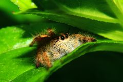 En makrobild av att hoppa spindeln Salticidae, den Hyllus diardien som ?r kvinnlig med goda, v?ssar och specificerat, h?r, ?ga oc arkivbild