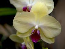 En makrocloseup av gula svarta för orkidén och vaniljfröskidabönor för brunt klibbar royaltyfri fotografi