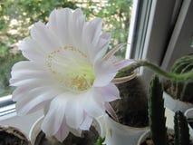 En makrocloseup av en härlig siden- rosa blomma för anbudEchinopsis Lobivia kaktus och en grön taggig kryddig växt royaltyfria foton
