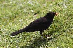 Blackbird Royaltyfria Bilder