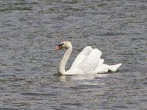 En male stum swan som svävar på damm. arkivfoton