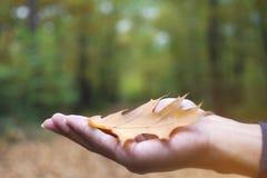 En man öppnar en hand med det stupade bladet för den bruna eken på höst med bokeh och suddig skogbakgrund Royaltyfri Fotografi