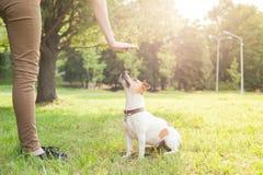 En man ger kommandon till en russel för avelhundstålar terrier som sitter på det gröna gräset fotografering för bildbyråer