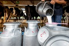 En man häller mjölkar för att mjölka behållaren i en mejerilantgård royaltyfri fotografi
