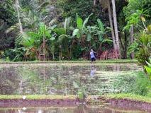 En man i risfält royaltyfri fotografi
