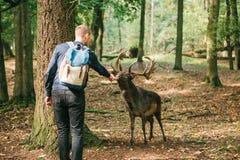En man matar en lös hjort i en naturlig livsmiljö Royaltyfri Fotografi