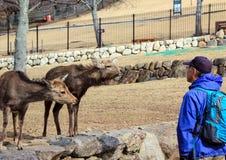 En man och deers i Nara Park Kall i Japan Royaltyfria Bilder