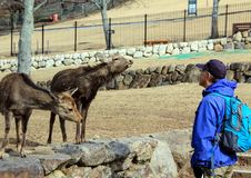 En man och deers i Nara Park Kall i Japan Royaltyfria Foton