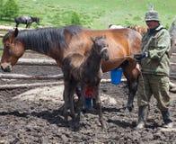 En man och en kvinna som mjölkar en häst Royaltyfri Fotografi