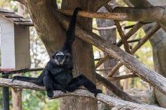 En man Pileated Gibbon har en renodlat svart päls Royaltyfri Bild