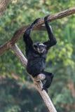 En man Pileated Gibbon har en renodlat svart päls Arkivbild