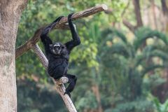 En man Pileated Gibbon har en renodlat svart päls Royaltyfri Foto