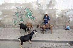 En man rymmer fyra tjudrade getter på vägrenen i staden av Quinche i Ecuador Arkivbild