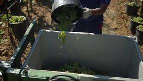 En man tappar druvor från hinken till behållaren med druvor på vingården arkivfilmer