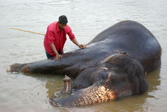 En man tvättar en elefant Royaltyfria Bilder
