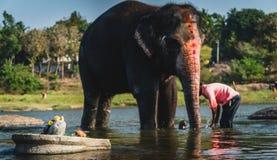 En man tvättar hans elefant på floden i den hampiIndien karnakataen under ett soligt arkivbilder