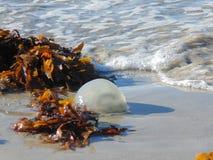 En manet gick på grund på stranden Med tidvattnet 2 royaltyfria bilder