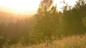 En manhandelsresande med en ryggsäck på solnedgången går upp berget Bak männen är en bergskog i solnedgången i panelljus lager videofilmer