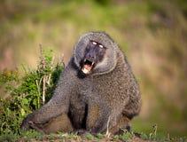 En manlig babian med ögon stängde sig i mitt- gäspning royaltyfri fotografi
