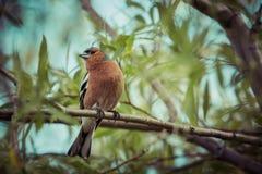 En manlig bofink på en skogsittpinne i Nya Zeeland Arkivbild
