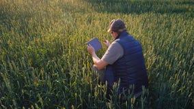 En manlig bonde studerar spikeletsna av ungt vete Använder en minnestavla Teknologier i agribusiness stock video