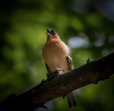 En manlig gemensam chiffinch som sjunger i ett träd Arkivfoto