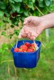 En manlig hand för ` som s rymmer en ask av jordgubbar Arkivbild