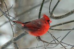 En manlig kardinal i vinter Royaltyfri Bild