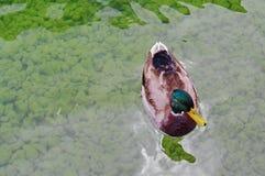 En manlig lös and svävar utom fara vatten Arkivfoton