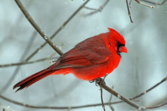 En manlig nordlig kardinal i vinter Arkivbild