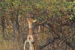 En manlig prickig Chital hjortbanhoppning som äter mat Arkivbild