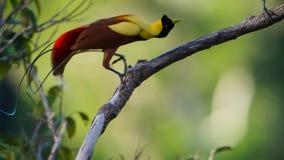 En manlig röd fågel av paradisskärm i treetopsna Konkurrera som tilldrar en kvinnlig, genom att dansa arkivfoton