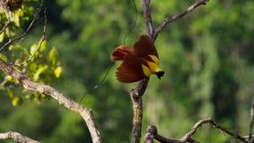 En manlig röd fågel av paradisskärm i treetopsna Konkurrera som tilldrar en kvinnlig, genom att dansa arkivfoto