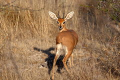 En manlig Steenbok som badas i ottaljus Arkivfoto