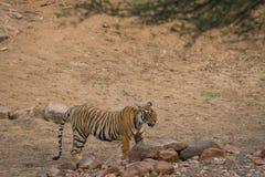 En manlig tiger som ser den rinnande tigrinnan, når att ha slagits med henne royaltyfria foton