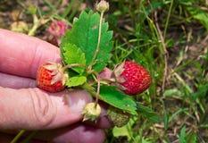 En mans hand väljer jordgubbar Royaltyfria Foton
