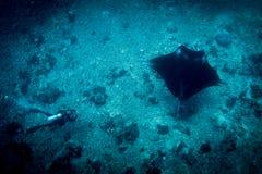 En Manta Ray och en dykare på mantapunkt Royaltyfria Bilder