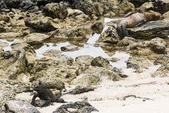 En Marine Iguana & en sjölejon Royaltyfria Bilder