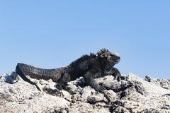 En Marine Iguana på lava vaggar Royaltyfria Foton