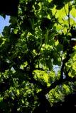 En markis av ett vinrankaträd Fotografering för Bildbyråer