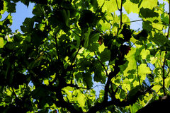 En markis av ett vinrankaträd Royaltyfria Bilder