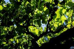 En markis av ett vinrankaträd Royaltyfri Bild