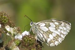 En marmorerad vit fjäril på en björnbär på den southampton allmänningen Arkivfoto
